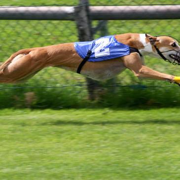 NSW Bans Greyhound Racing